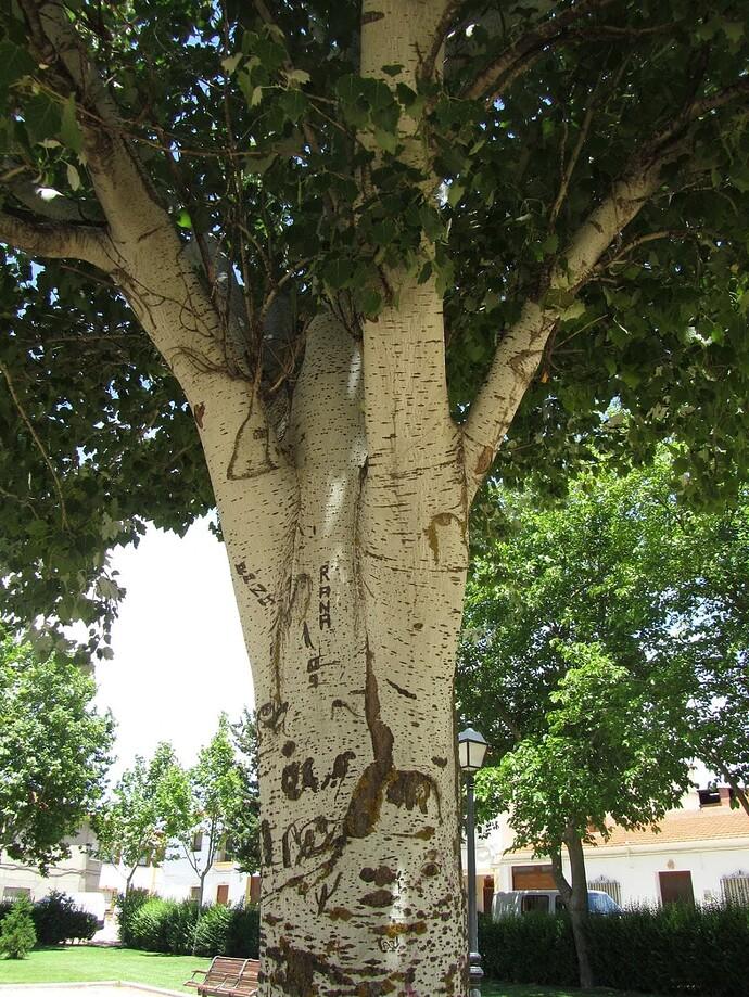 populus-alba-nivea-detalle-tronco