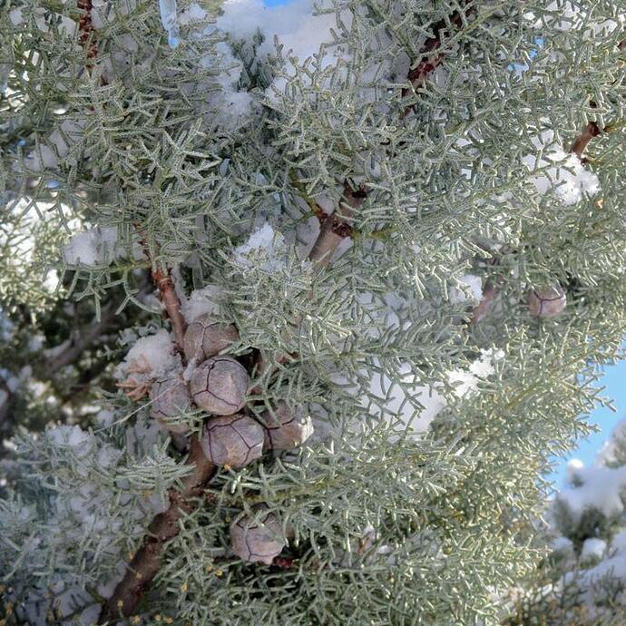 Arizona-Cypress_1024x1024