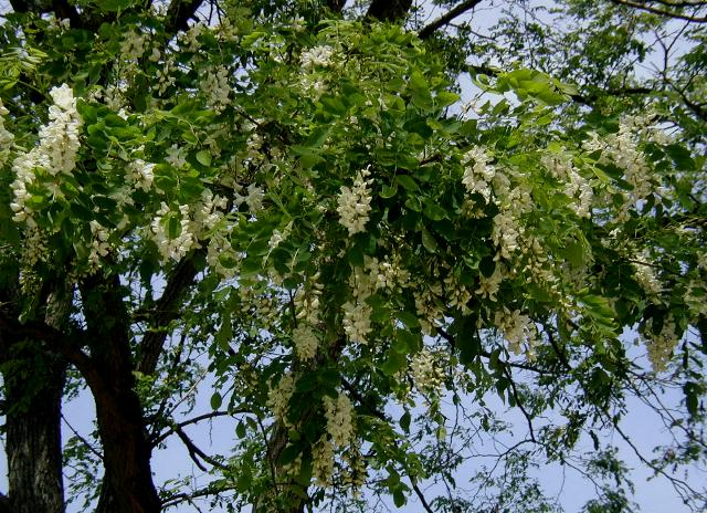 Robinia-pseudoacacia